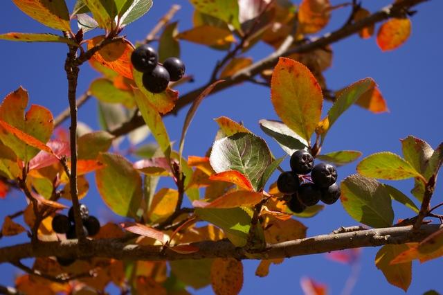 Jeřáb černý - aronie, plody1