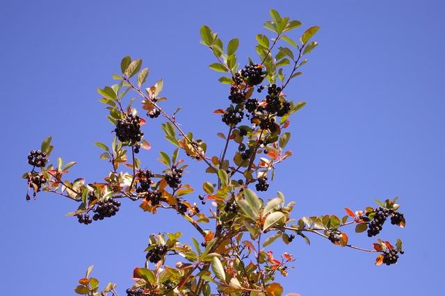Jeřáb černý - aronie, plody2