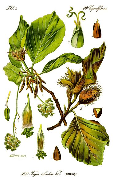 371px-Illustration_Fagus_sylvatica0_clean.jpg