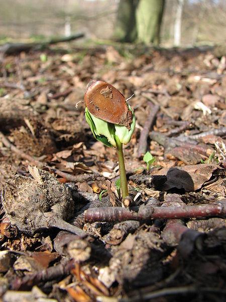 Semenáček