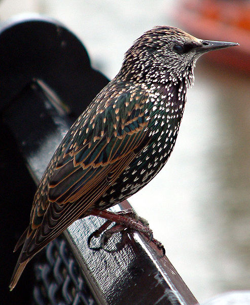 493px-Common_starling_in_london.jpg