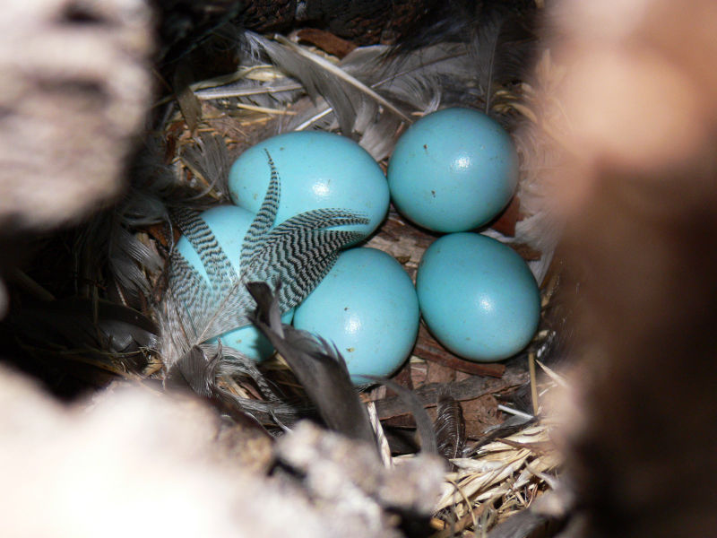 800px-European_starling_eggs.jpg