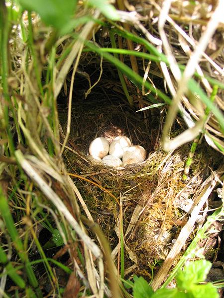450px-Erithacus_rubecula-eggs.jpg