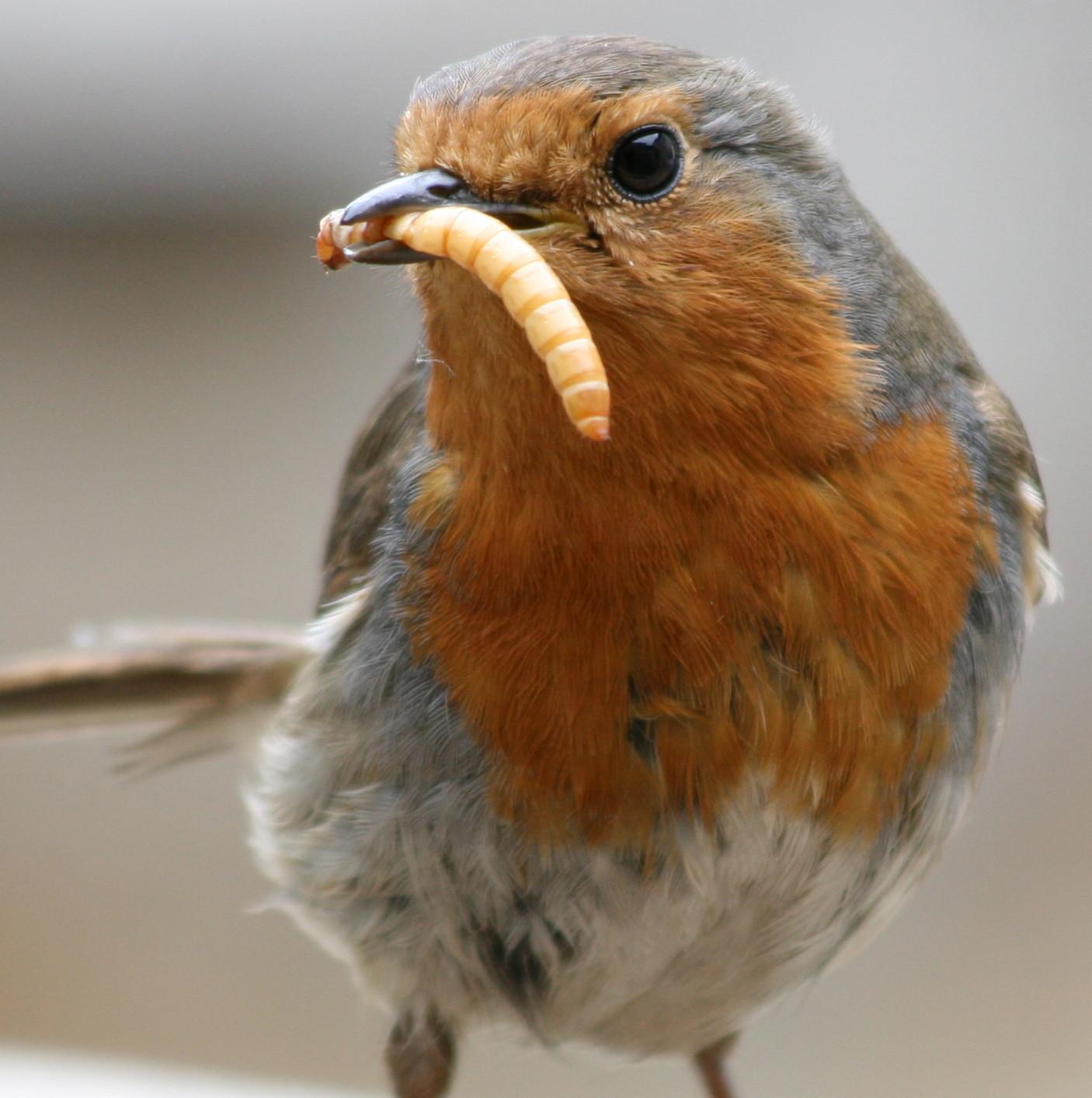 European_Robin_(Erithacus_rubecula)_with_mealworm.jpg